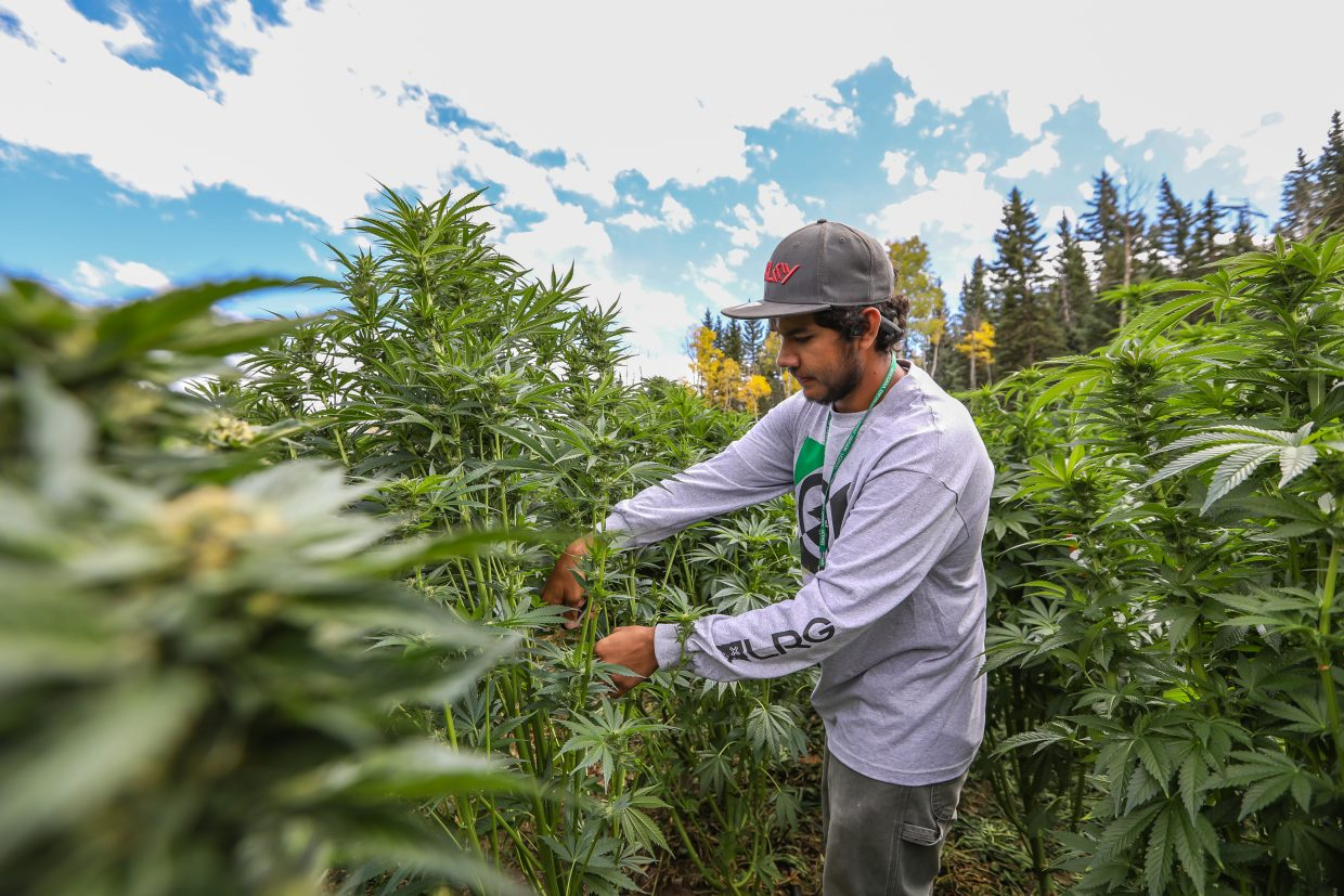 Marijuana index: Wholesale cannabis prices at all-time low