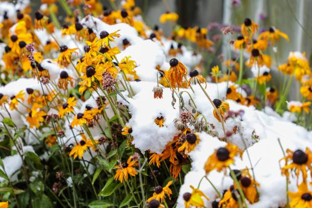 Flowers take a beating under the new, wet snow Thursday, Oct. 11, in Vail.