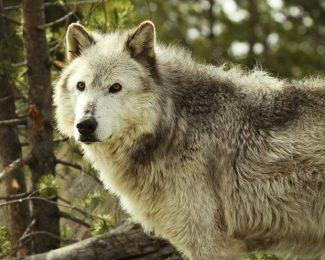 Hunting groups enlist to fight wolf re-introduction